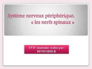 Système nerveux périphérique: « les nerfs spinaux »