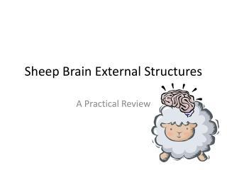 Sheep Brain External Structures