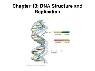 Chapter 13: DNA Structure and Replication