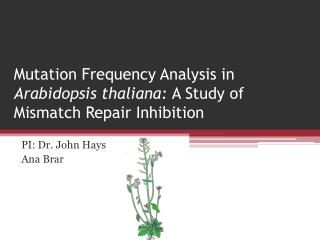 Mutation Frequency Analysis in  Arabidopsis thaliana:  A Study of Mismatch Repair Inhibition