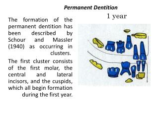 Permanent Dentition