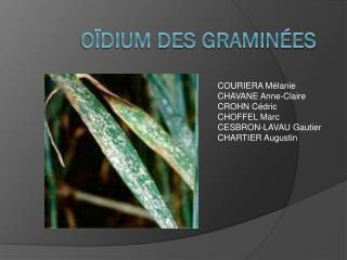 Oïdium des graminées