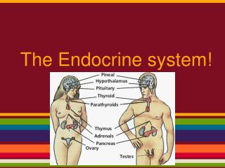 The Endocrine system!