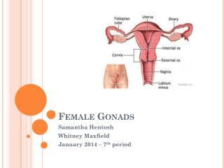 Female Gonads