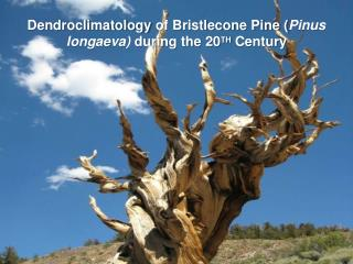 Dendroclimatology  of Bristlecone Pine ( Pinus longaeva )  during the 20 TH  Century