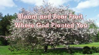 Bloom and Bear Fruit  Where God Planted You