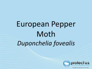 European Pepper Moth  Duponchelia fovealis