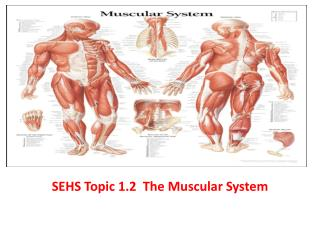 SEHS Topic 1.2  The Muscular System