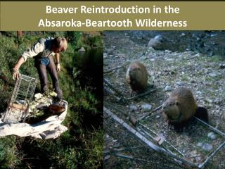 Beaver Reintroduction in the  Absaroka- Beartooth  Wilderness