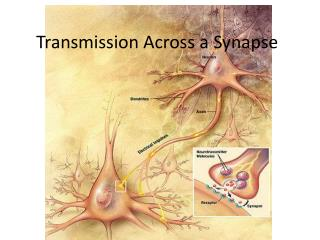 Transmission Across a Synapse