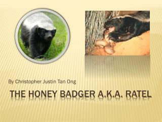 The honey badger a.k.a. ratel