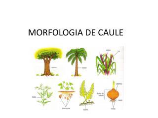 MORFOLOGIA DE CAULE