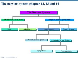 The nervous system chapter 12, 13 and 14