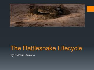 The Rattlesnake Lifecycle