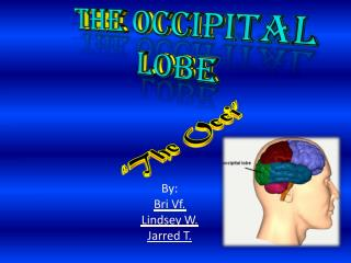The Occipital Lobe