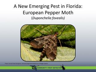 A New Emerging Pest in Florida: European Pepper Moth  ( Duponchelia fovealis )