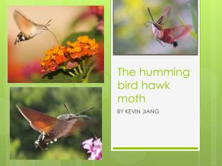 The humming bird hawk moth