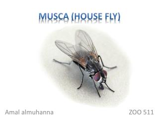 Musca  (house fly)