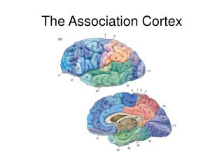 The Association Cortex