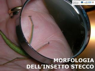 MORFOLOGIA DELL'INSETTO STECCO