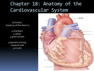 Chapter 18: Anatomy of the Cardiovascular System