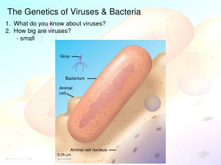 The Genetics of Viruses & Bacteria