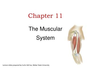 Chapter 11 The Muscular  System