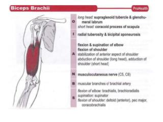 Supinator and Biceps