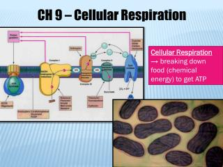 Cellular Respiration  → breaking down food (chemical energy) to get ATP