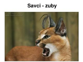 Savci - zuby