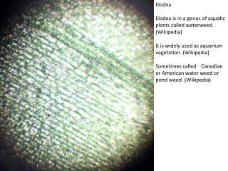 Elodea Elodea is in a genus of aquatic plants called waterweed . (Wikipedia)