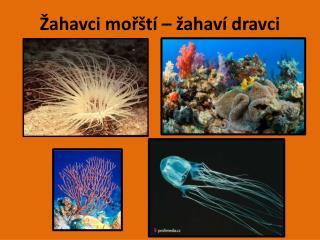 Žahavci mořští – žahaví dravci