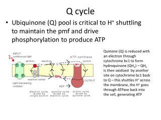 Q cycle