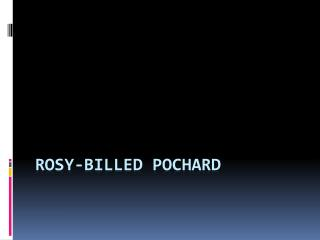 Rosy-billed  Pochard