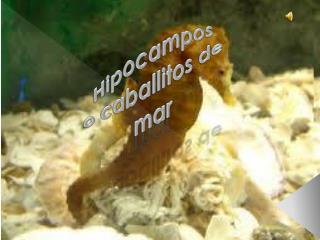 Hipocampos o caballitos de  mar