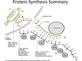 Protein Synthesis Summary