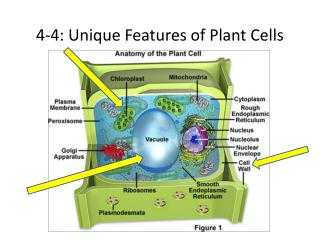 4-4: Unique Features of Plant Cells