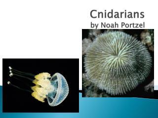 Cnidarians by Noah  P ortzel