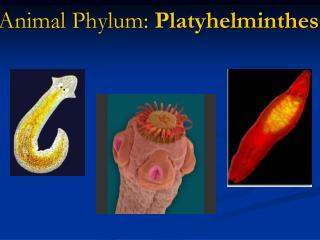 Animal Phylum:  Platyhelminthes