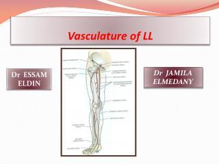 Vasculature of LL