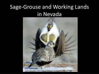 Sage-Grouse and Working Lands in Nevada