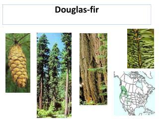 Douglas-fir
