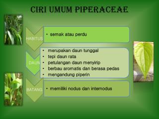 Ciri Umum Piperaceae