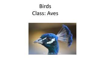 Birds Class: Aves