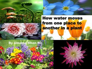 How water moves from one place to another in a plant