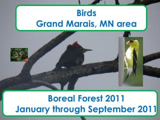 Birds Grand Marais, MN area Boreal Forest 2011  January through September 2011