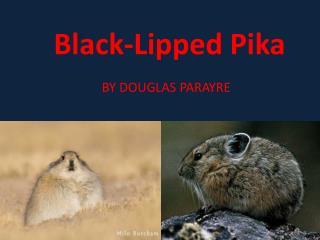 B lack-Lipped Pika