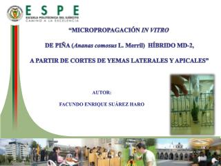 """""""MICROPROPAGACIÓN  IN VITRO  DE  PIÑA ( Ananas comosus  L.  Merril )  HÍBRIDO MD-2 ,"""