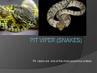 Pit viper (snakes)