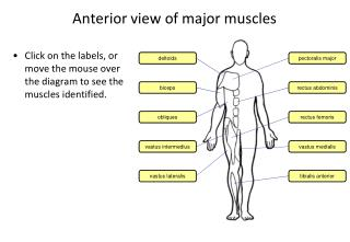 Anterior view of major muscles